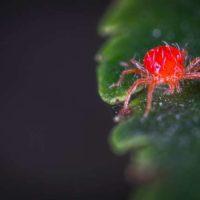 чеснок от паутинного клеща