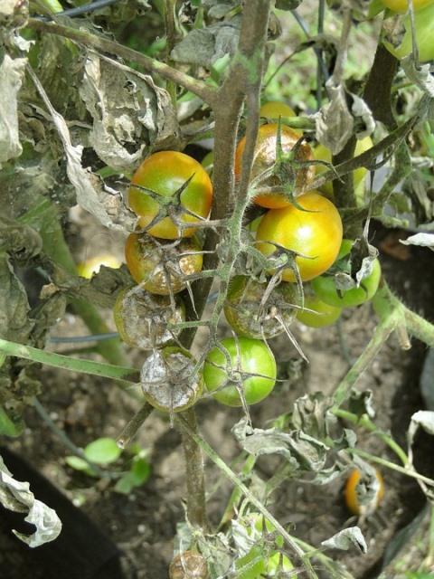 фитофтороз томатов лечение