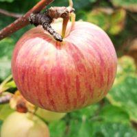 """<span class=""""title"""">Чем и когда можно удобрить фруктовые деревья</span>"""