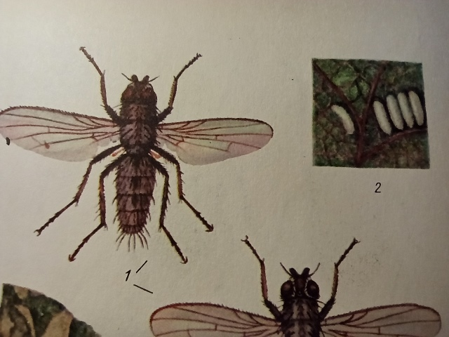 свекловичная муха меры борьбы
