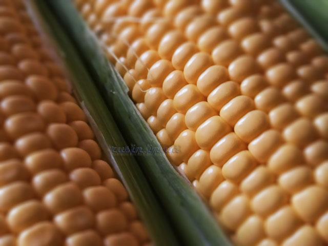 как выращивать кукурузу