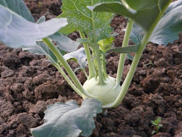 выращивать кольраби